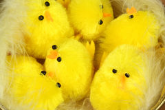 Chicks in nest Royalty Free Stock Image