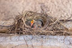 Chicks in the nest asking for food. Birds. Wildlife. royalty free stock photo