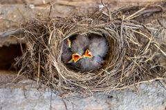 Chicks in the nest asking for food. Birds. Wildlife. royalty free stock images