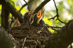Chicks in a nest. Four сhicks in a nest on a tree branch in spring stock photos