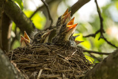 Chicks in a nest. Four сhicks in a nest on a tree branch in spring royalty free stock image