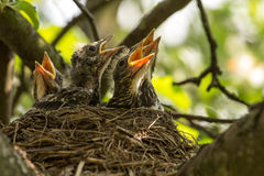 Chicks in a nest. Four сhicks in a nest on a tree branch in spring stock photography