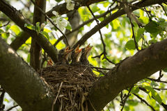 Chicks in a nest. Four сhicks in a nest on a tree branch in spring royalty free stock photos