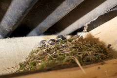 Chicks in the nest Royalty Free Stock Photography