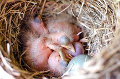 Chicks in the nest. Sleeping Blackbird Chicks in the nest Royalty Free Stock Photography