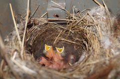 Chicks in the nest waiting for food stock images