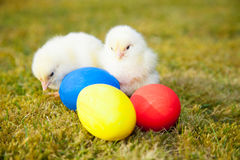 Chicks next to colorful easter eggs Royalty Free Stock Photos