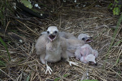 Chicks Northern Harrier Stock Photography