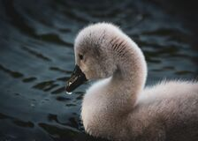 Free Chicks Of A White Swan Playing The Pond Water Close Up Selective Focus Blur Background Royalty Free Stock Photo - 186292415