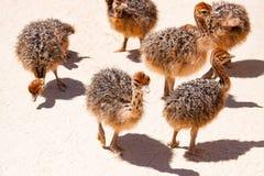 Chicks ostrich in the farm stock photo