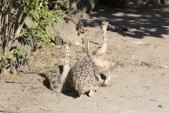 Chicks Ostrich, Struthio camelus Stock Photos