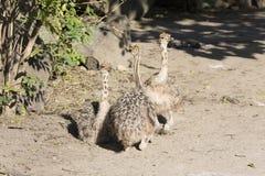 Chicks Ostrich, Struthio camelus Stock Photos