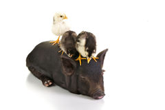 Chicks on pig Royalty Free Stock Photography