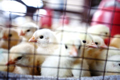 Chicks ready to be sold in the farm shop Royalty Free Stock Photo