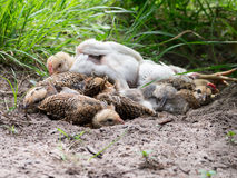 Chicks resting holes royalty free stock photos