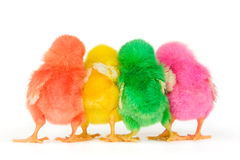 Chicks in secret discussion Royalty Free Stock Image