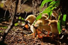 Chicks several days old. Little chicks several days old among the plants royalty free stock photos