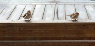Chicks sparrows. With yellow beak sitting on a bench Royalty Free Stock Photography