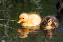 Chicks in spring Stock Photos