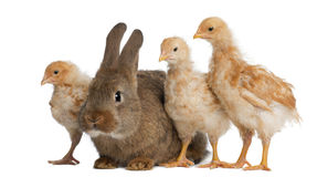 Chicks standing next to Rabbit Royalty Free Stock Photography