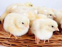 Chicks standing in a wicker basket Royalty Free Stock Image
