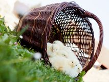 Chicks standing in a wicker basket Stock Images