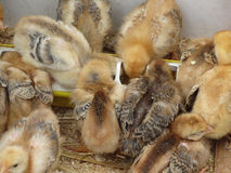 Chicks on straw eating feed in the chicken coop.  stock image