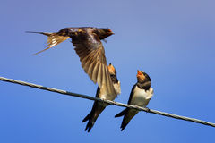 Chicks swallows on the wires. Waiting for the mother bird Royalty Free Stock Image