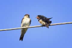 Chicks swallows on the wires. Waiting for the mother bird Stock Image