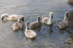 Chicks of the swan Royalty Free Stock Photo