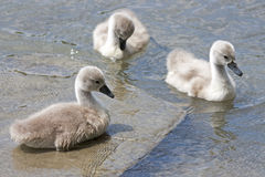 Chicks of the swan Stock Photos