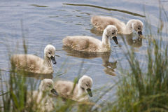 Chicks of the swan Royalty Free Stock Photos