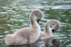 Chicks swan. Royalty Free Stock Photo
