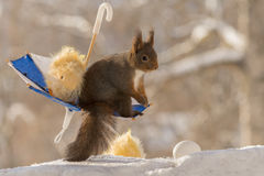 With chicks on swing. Close up of red squirrel standing  in  a umbrella with eggs and chick with snow beneath Royalty Free Stock Images