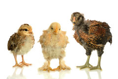 Chicks of Three Different Sizes Stock Photos