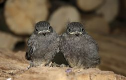Chicks. Two chicks huddled together for each other Stock Image