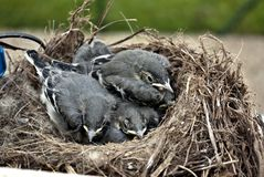 Chicks wagtails. Wagtails chicks in the nest Royalty Free Stock Images