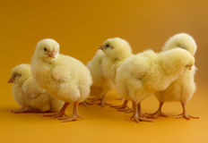 Chicks on yellow background Royalty Free Stock Image