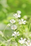 chickweed λουλούδια Στοκ εικόνες με δικαίωμα ελεύθερης χρήσης