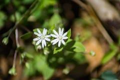 Chickweed звезды - pubera Stellaria Стоковое фото RF