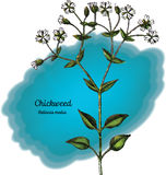 chickweed Photographie stock