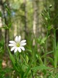 Chickweed Stock Images