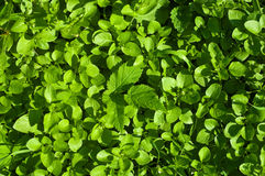 Chickweed background Royalty Free Stock Image
