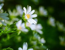 Chickweed blooming. White flowers background Royalty Free Stock Images