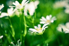 Chickweed blooming. White flowers background Stock Photos
