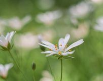 Chickweed blooming. White flowers background Stock Image
