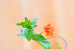 Chickweed Royalty Free Stock Images