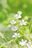 Chickweed flowers Royalty Free Stock Images