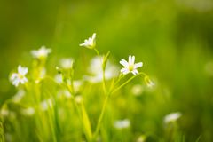Chickweed flowers blooming at spring Royalty Free Stock Photography