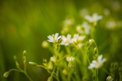 Chickweed flowers blooming at spring Stock Photography